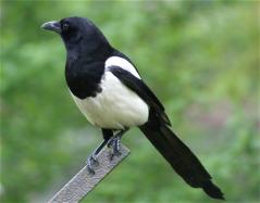 corvus5