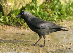 corvus6
