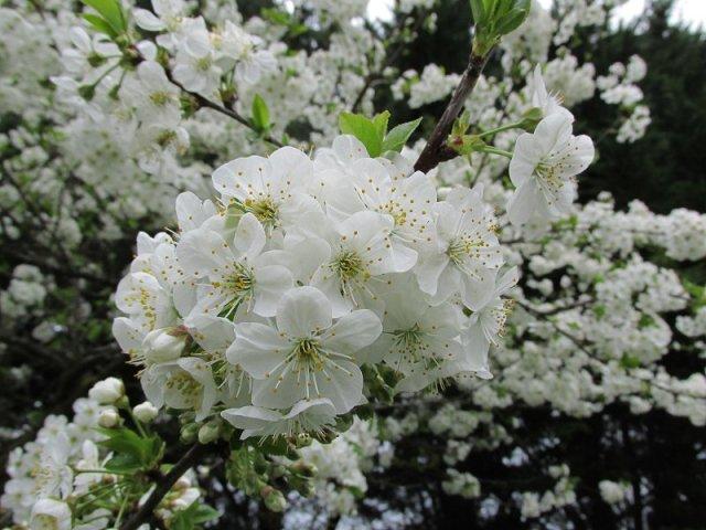 cerisier1704_12h15a