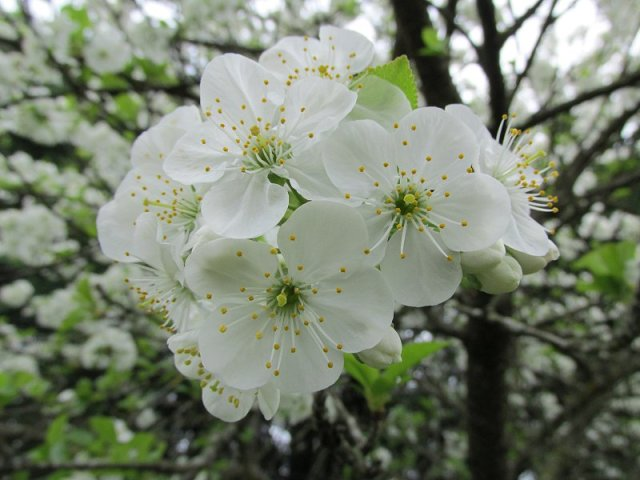 cerisier1704_12h15b