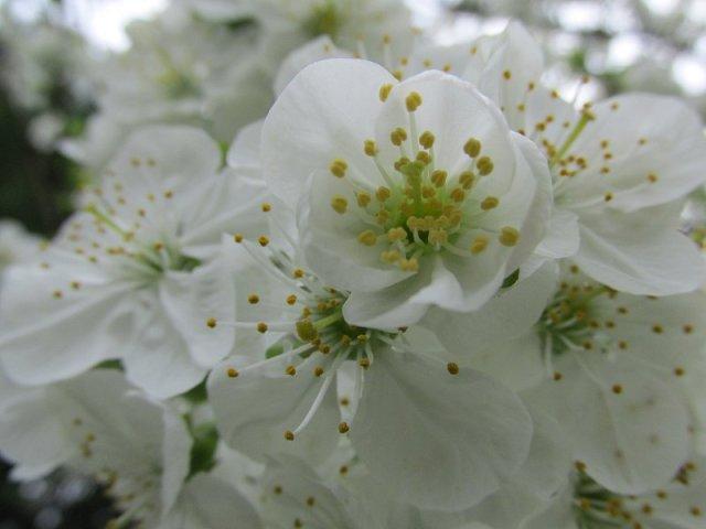 cerisier1704_12h15c
