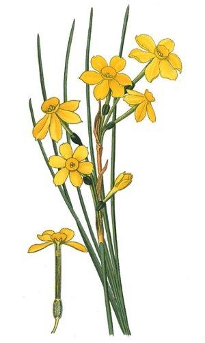 narcissusjonquilla