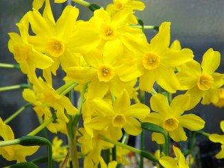 Narcissusjonquilla1