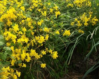Narcissusjonquilla2