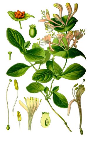 planche botanique chèvrefeuille