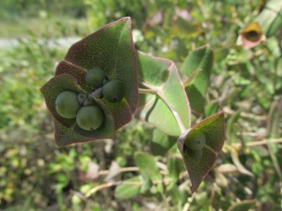 baies vertes de Lonicera caprifolium